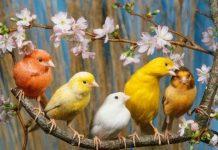 канарчета