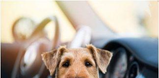 Не оставяйте куче през лятото в затворен автомобил