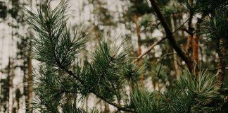 боров прашец дърво бор
