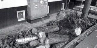 """Сеч на дървета пред блокове в """"Славейков"""""""