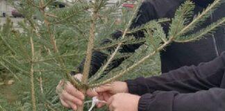 Законно отсечените коледни дръвчета при продажбата задължително трябва да имат пластмасова контролна пластина със сериен номер